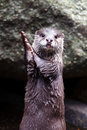 Otter clapping hands cute while standing upright Stock Photos
