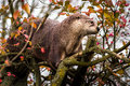 Otter climbing a tree north american river lontra canadensis Stock Photo