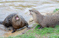 Otter disagreement a male and female vocalize at each other Stock Image