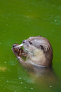 Otter eating Royalty Free Stock Photo