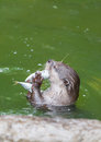 Otter eating the fish in the pool Royalty Free Stock Photo