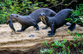 Otter family on the move Royalty Free Stock Photo