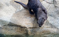 Otter getting ready to jump in the water a wet prepares back river Stock Image