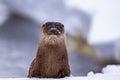 Otter on snow Royalty Free Stock Photo