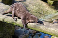 An otter stretching out in the sun this was caught morning Royalty Free Stock Photography