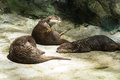The otter sunbathe otters are in morning Stock Photo