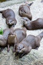 Otters in captivity Royalty Free Stock Photography
