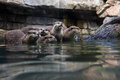 Otters a group of five oriental or asian small clawed captured in a zoo Stock Photo