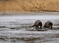 Otters in the wild Royalty Free Stock Photography