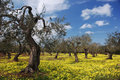 Oude olive trees in meadow Royalty-vrije Stock Fotografie