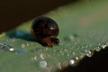 Oulema melanopus larva tiny shiny cereal leaf beetle in the morning dew on a leaf Royalty Free Stock Photos