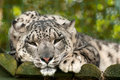 Ounce or snow leopard Royalty Free Stock Photos