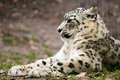Ounce snow leopard having rest in grass Stock Photography
