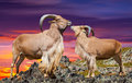 Ouple of barbary sheeps in sunset time