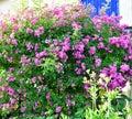 Our rosebush Royalty Free Stock Photo