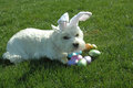 Our westie annie being defensive about her easter egg stash is very guarded over Royalty Free Stock Images