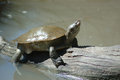 Out in the sun australian freshwater tortoise sunning itself Stock Photos