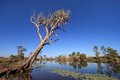 Outback gumtree old eucalyptus tree on the banks of an australian creek with water lillies in the foreground Royalty Free Stock Photography