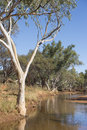 Outback river landscape australia white gumtree at bank in with blue sky Royalty Free Stock Images