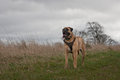 Outdoor bullmastiff bitch in harness alert wearing a leather outdoors Stock Image