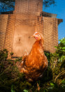 Outdoor free range hen roaming out of the chicken coop Royalty Free Stock Image