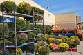 Outdoor garden center with fall mums display lots of colorful chrysanthemums also known as hardy or just these blooming Stock Photography