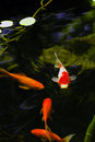 Outdoor Koi Fish Pond Royalty Free Stock Photography