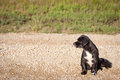 Outdoor profile dog portrait of a cocker spaniel sitting on a gravel road looking inward Royalty Free Stock Photos