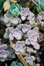 Outdoor purple mini succulent garden