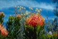 Outeniqua pincushion Royalty Free Stock Photo