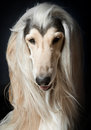 Outstanding afghan hound the portrait Stock Photos