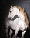 Outstanding andalusian stallion in studio Stock Photo