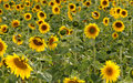 Outstanding sunflower Stock Image