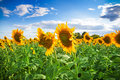 Outstanding sunflower Royalty Free Stock Photo