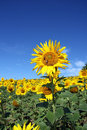 An outstanding sunflower from the field Stock Photo
