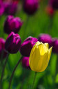 An outstanding tulip a yellow is among a field of purple blossoms Stock Photo
