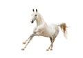Outstanding white stallion isolated on white background an Stock Photos