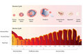 Ovariálne a maternice cyklus