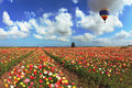 Over the blossoming field of flying a balloon Stock Photo