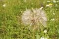 Overblown Dandelion Closeup
