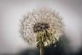 Overblown dandelion Royalty Free Stock Photo