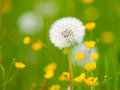 Overblown Dandelion Flower
