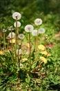Overblown And Flowering Dandel...