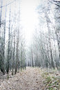 Overexposed bare pine forest giving mysterious landscape Royalty Free Stock Photo