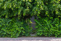 Overgrown garden gate iron with poplar branches and wine stems Stock Image