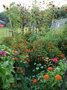 Overgrown garden of vegetables, sunflowers, zinnia, marigolds, and weeds. Royalty Free Stock Photo