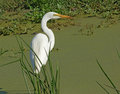 Overgrown tarn and little egret a bird named in uganda africa in sunny ambiance Stock Photo