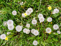 Overhead view of dandelions and weeds in a green field