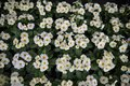 Overhead view of lots of white and yellow springtime primroses