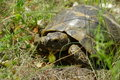 Overland turtle Royalty Free Stock Photography